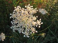 queen anns lace