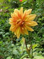 yelloworangedahlia