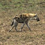 """Hyena on the prowl"" by patgleasonphotography"
