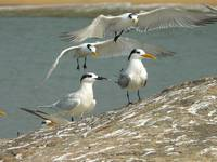 Sandwich and Lesser Crested Terns