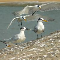 Sandwich and Lesser Crested Terns Art Prints & Posters by Sandeep Gangadharan