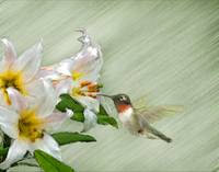 Hummingbird with White Lilies