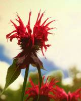 Bee Balm is Not Just For Bees!