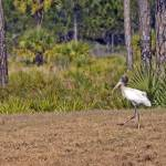 """""""Wood Stork with Fish"""" by kphotos"""