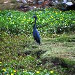 """little blue heron on golf course"" by DonnaHarding"