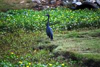 little blue heron on golf course