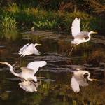"""Flurry of Egrets"" by DonnaHarding"