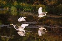 Flurry of Egrets