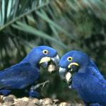 """Hyacinths and Nuts"" by parrots"