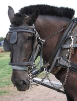 Percheron Horse in Harness