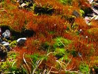 Red and green moss closeup IMG_6798