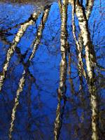 Birch Tree Reflections
