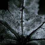 """Winter Leaf"" by RserranoPhoto"