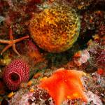 """Puffball Sponge and Sea Stars"" by CalCoastDive"