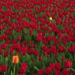 """Red and Yellow Tulips"" by Inge-Johnsson"