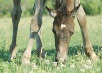 Filly in Clover