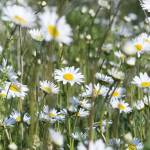 """""""Daisies in a field"""" by tomgnt"""