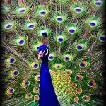"""Peacock Art No4"" by johncorney"