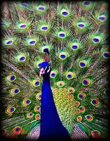 Peacock Art No4