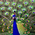 """Peacock Art No6"" by johncorney"
