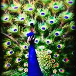 """Peacock Art No1"" by johncorney"