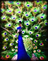 Peacock Art No1