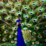 """Peacock Art No3"" by johncorney"