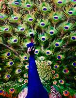 Peacock Art No3
