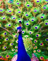 Peacock Art No2