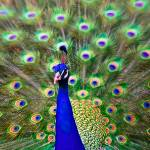 """Peacock Art No5"" by johncorney"