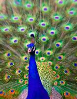 Peacock Art No5