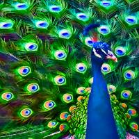 """Peacock Art No"" by John Corney"