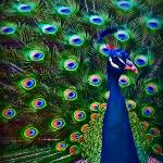 """Peacock Art No9"" by johncorney"