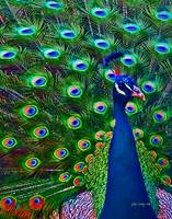 Peacock Art No10