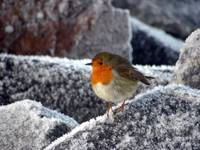 Robin at Cromarty