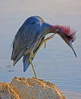 Little Blue Heron with Itch