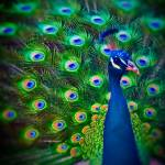 """Peacock Art No11"" by johncorney"