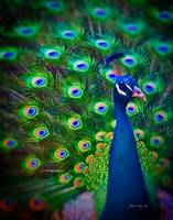 Peacock Art No11