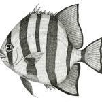 """Spadefish"" by jenofuto"