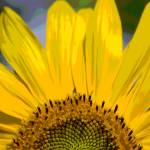 """Sunflower rising"" by imagesbycat"
