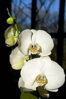 White Twin Orchids Basking in the Sunlight