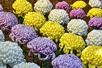 Colored Mums