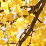 """ginkgoleaves"" by JSphotography"