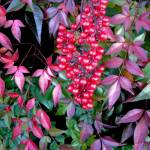 """Nandina Shadows"" by Illumination"