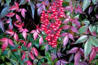Nandina Shadows