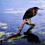 """A Green Backed Heron"" by CassiePozulp"