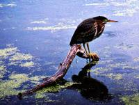 A Green Backed Heron