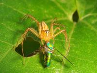 Lynx Spider Eating Long Legged Fly