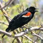 """Red Winged Blackbird"" by SolacePointe"