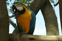 Macaw,  Blue-and-yellow-macaw  Macaw-canind,